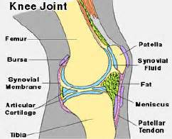 labelled diagram of a knee joint picture 7