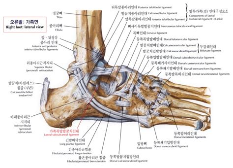 ankle joint diagram picture 2