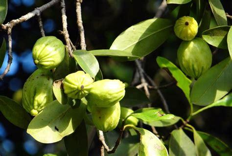 garcinia cambogia tree picture 10