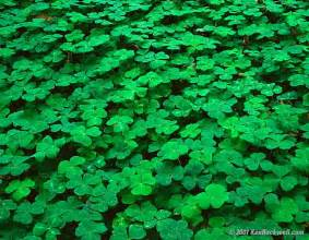 clover picture 18