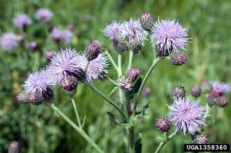 canadian thistle picture 14