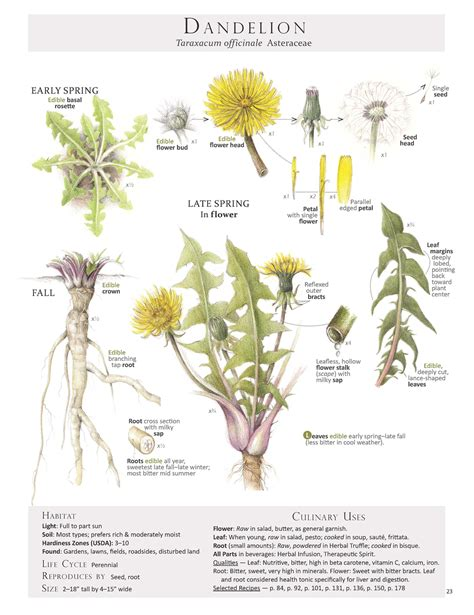 dandelion root for digestion picture 11