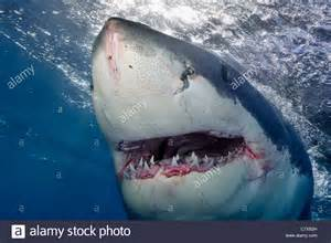 how many h do sharks have picture 13