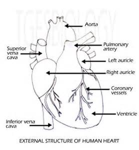 blood flow front heart picture 11