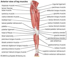 lower body muscle diagram picture 2