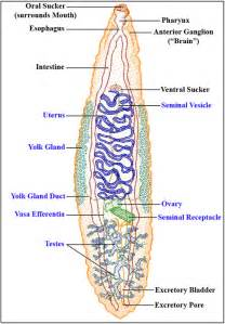 digestion h picture 13