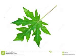 papaya leaf picture 9