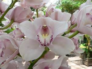 orchid virility picture 6