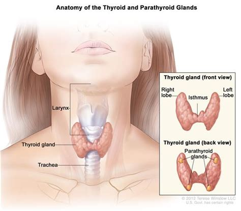 can substernal thyroid adhere to organs picture 9