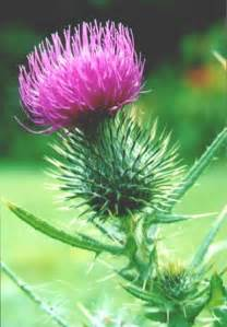 thistle picture 6