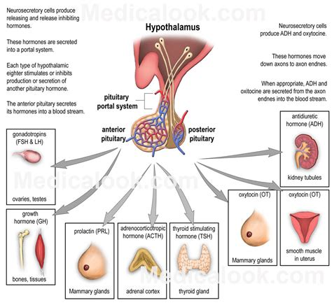 anterior pituitary picture 9