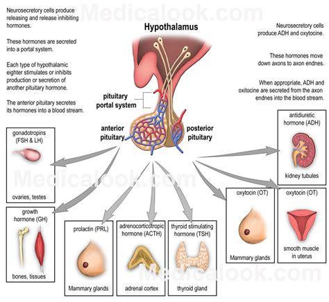 hormones picture 3