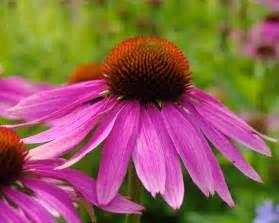 echinacea purpurea picture 6
