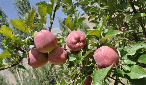 afghan natural diet picture 17