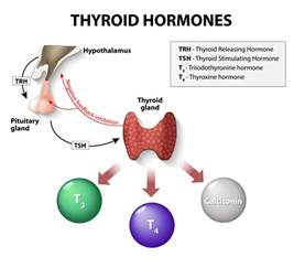 how big is the thyroid picture 5