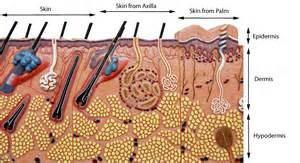 integumentary system skin model picture 5
