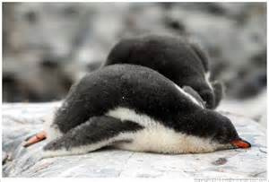 penguins sleep picture 1