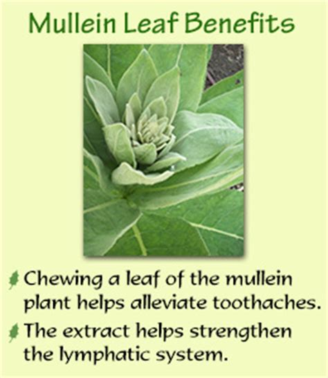 benefits of mullein picture 5