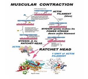 chronic muscle contraction picture 14