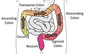 colon digestive picture 1