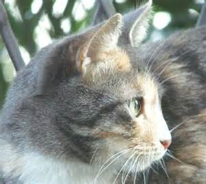 feline hyperthyroidism hair loss picture 3
