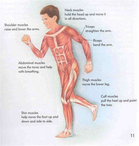 how the muscle system works picture 14