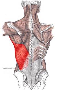 latissimus muscle picture 6
