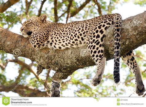 cheetah sleeping in a tree picture 17