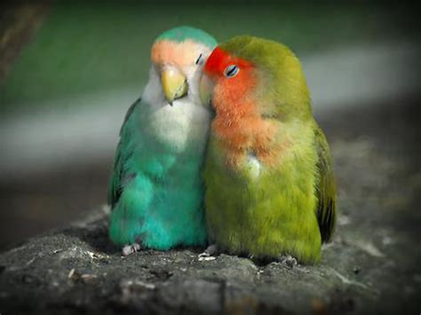pictures of sleeping lovebirds picture 18