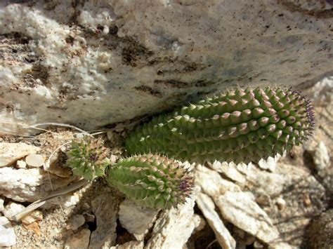 hoodia african plant picture 7