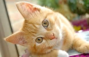 feline acne treatment picture 13