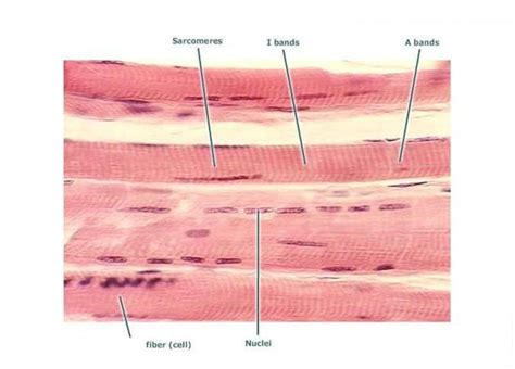 are smooth muscle multinucleated picture 9