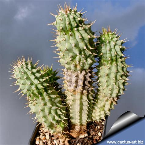 hoodia cordonii cactus picture 1