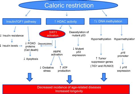 caloric restriction aging skin picture 1