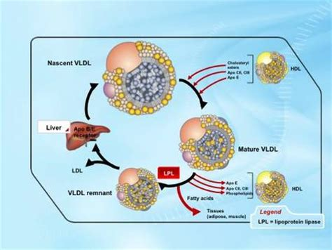 What is vldl cholesterol picture 15