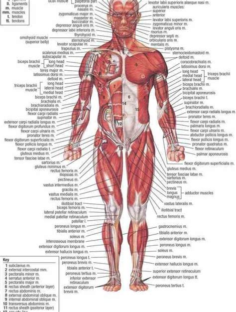 where is the liver located on human body picture 6