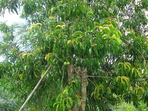 garcinia cambogia tree picture 5