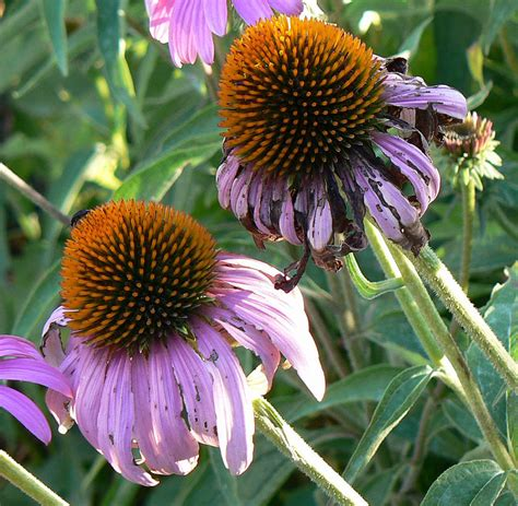 echinacea goldenseal picture 10