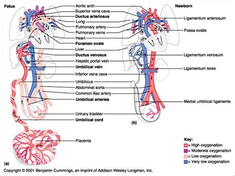 fetal blood and circulation picture 11