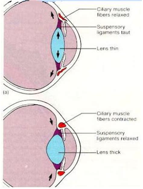 ciliary muscle function picture 6