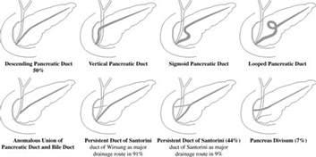 women + anatomy + liver picture 7