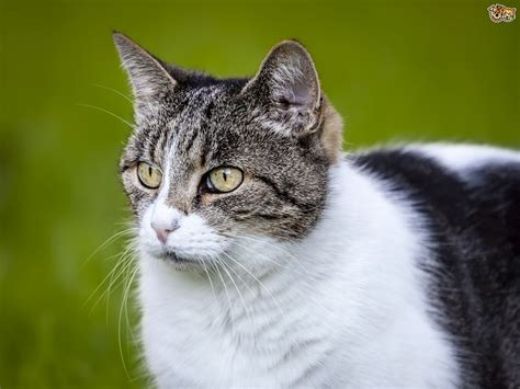 hyperthyroid in cats picture 6