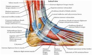 ankylet muscle picture 5