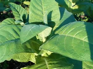 tobacco picture 9