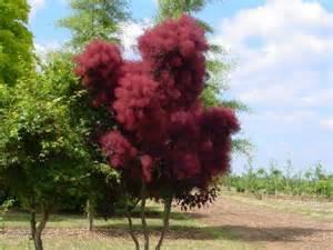 pruning smoke tree picture 1