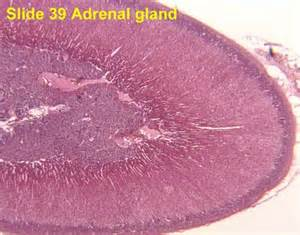 histology of parathyroid picture 7