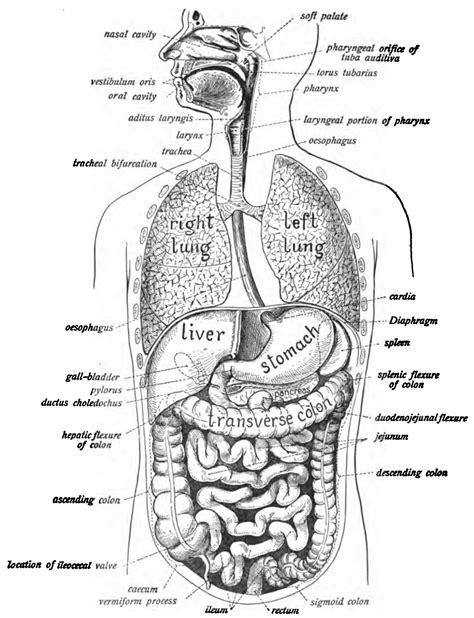 diagrams showing the digestion process picture 17