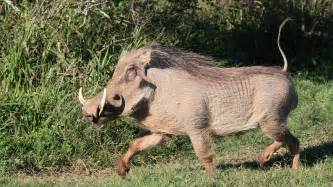 wart hog pictures picture 17