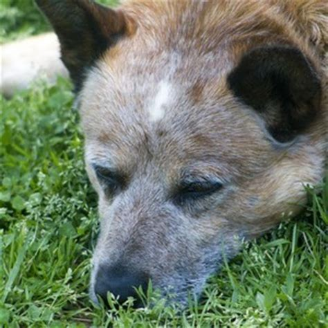 canine thyroid diseases picture 19