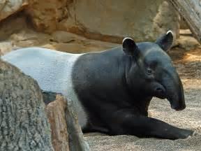 tapir penis picture 5